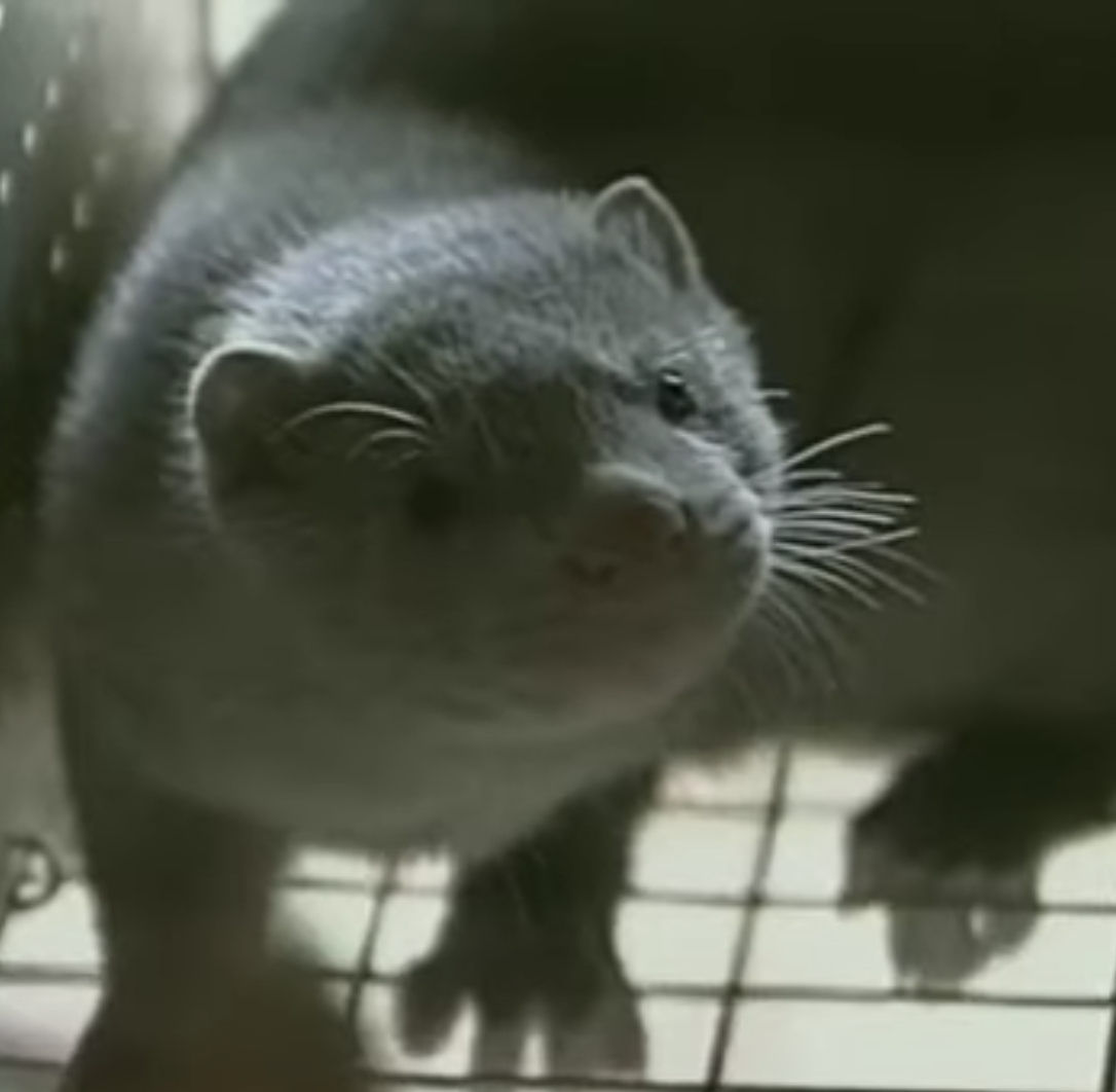 Denmark finds 214 people with mink-related coronavirus