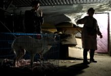 china-animal-rescuer-shares-home-with-1,300-dogs
