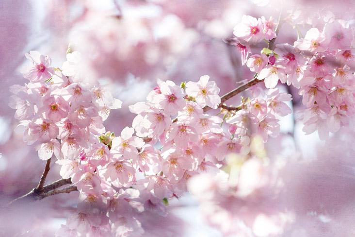 'sakura'-shrimp-and-cherry-blossom-latte:-spring-has-arrived-in-japan!