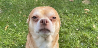 'looks-like-a-gremlin':-chihuahua-in-us-goes-viral-on-social-media-thanks-to-funny-adoption-post-by-rescuer